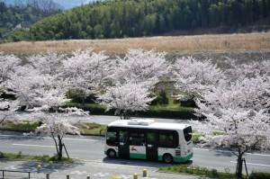 桜並木をゆくポンチョ